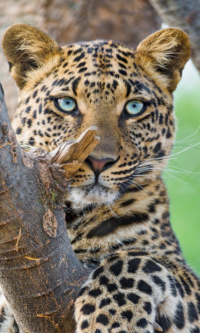 3d Animated Girl Wallpaper Beautiful Leopard Wallpapers In Jpg Format For Free Download