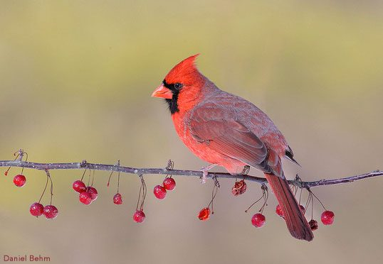 Fall Bird Feeder Wallpaper Why So Red Mr Cardinal Nestwatch Explains All About Birds