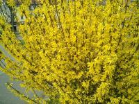 连翘开花树枝