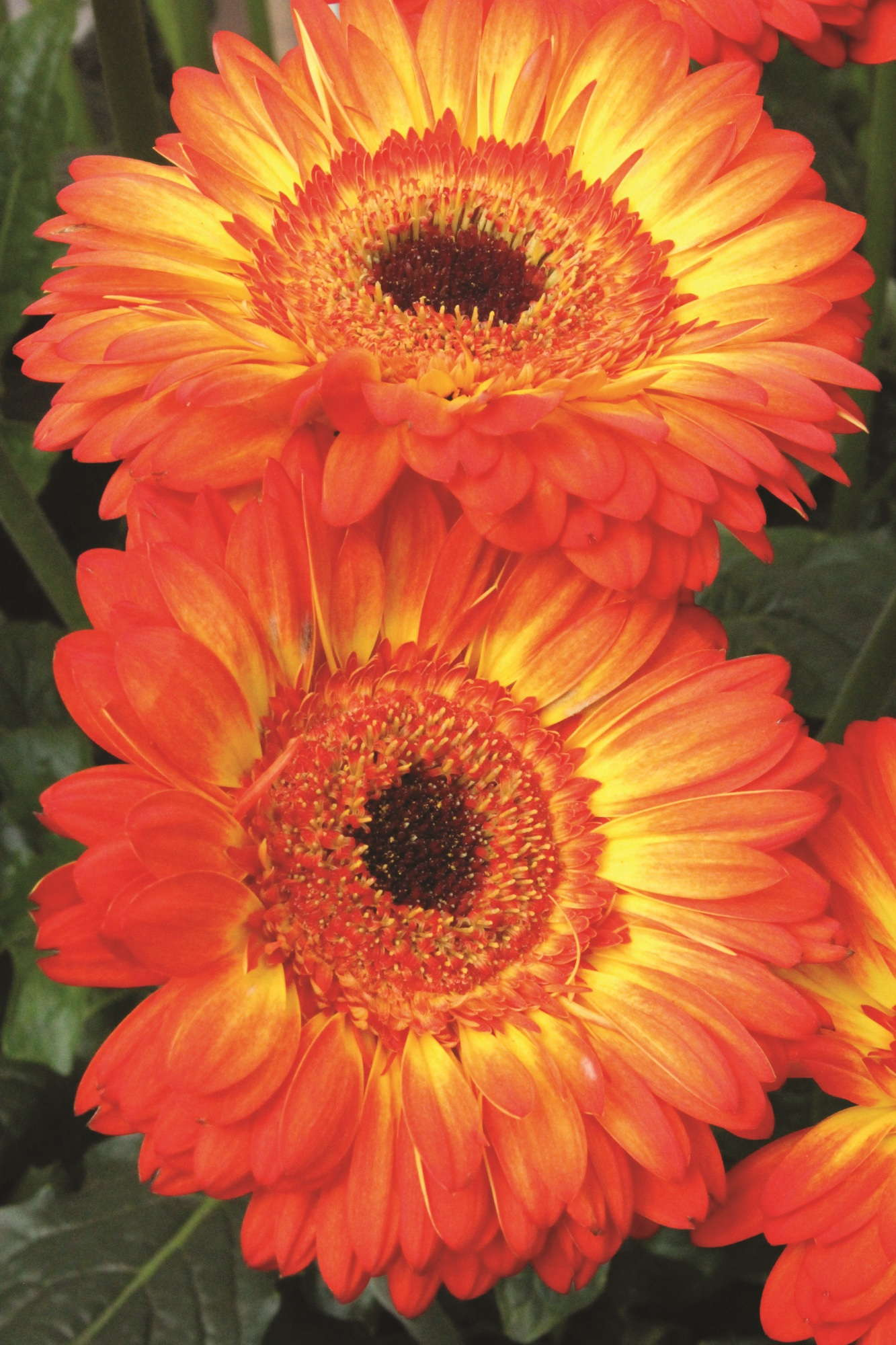 7 New Gerbera To Consider For 2014 Greenhouse Grower