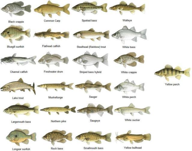 freshwater fish fishing chart