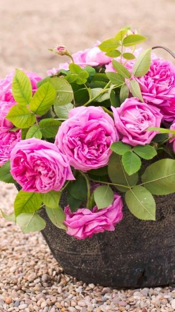 Download Girl Wallpaper Nokia 5233 Pink Garden Roses In Basket Wallpaper For Nokia 5233