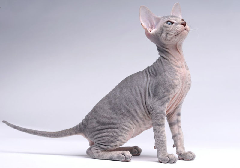 Top 12 Most Expensive Cat Breeds in the World Ashera vs Savannah