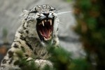 A female Snow Leopard shows her teeth