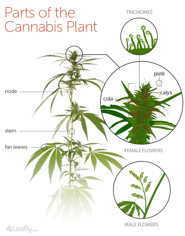 Cannabis Anatomy 101 Know the Parts of the Plant