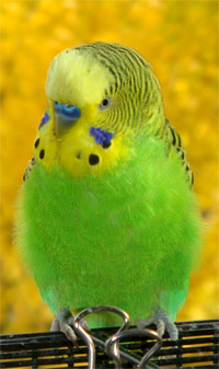 Hd Boy And Girl Wallpaper How Can You Tell If A Parakeet Is Male Or Female