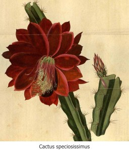 Cactus speciosissimus with caption