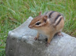 Small Of Getting Rid Of Chipmunks