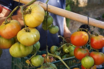 Tomatoes being hung for the upcoming winter at Caseria Del Mercado