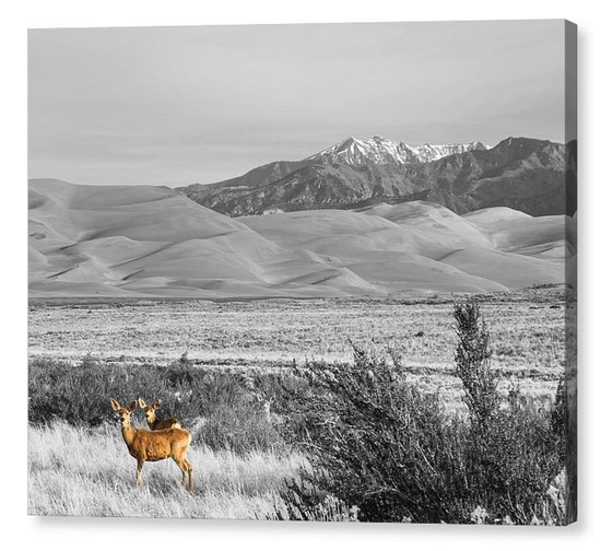 Great Colorado Sand Dunes Deer Canvas Print