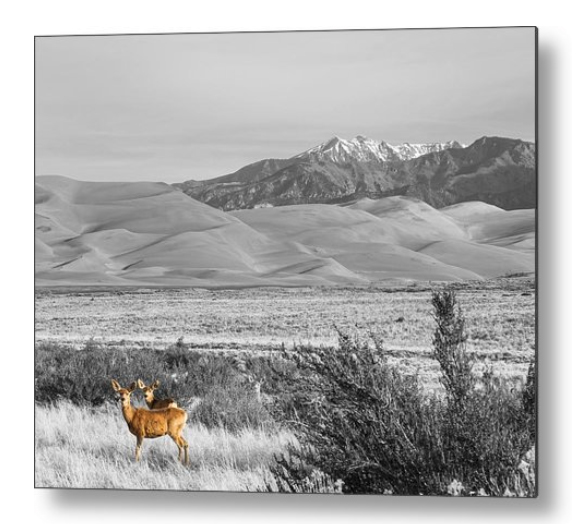 Great Colorado Sand Dunes Deer Metal Print