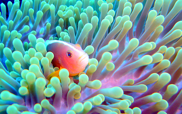 Iphone X Inside Wallpaper Hd Skunk Clownfish And Sea Anemone Photograph By Takau99