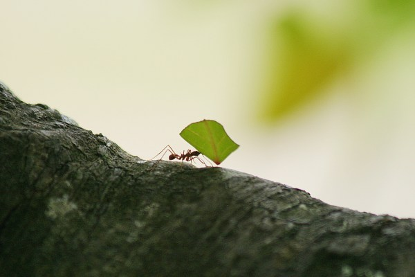 I snapped this in Corcovado National Park on the Osa Pennisula in southwestern Costa Rica. Leaf-cutter ants are farmers. They harvest leaves which they mix with their saliva in their nests.