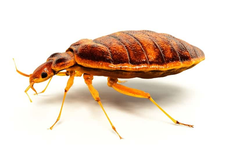 Differentiating Bugs. Types of Bugs Commonly Mistaken for Bed Bugs