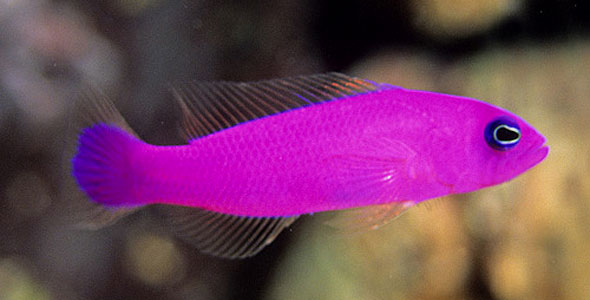 Basslet \u2013 Fish Breeds \u2013 Information and pictures of saltwater and