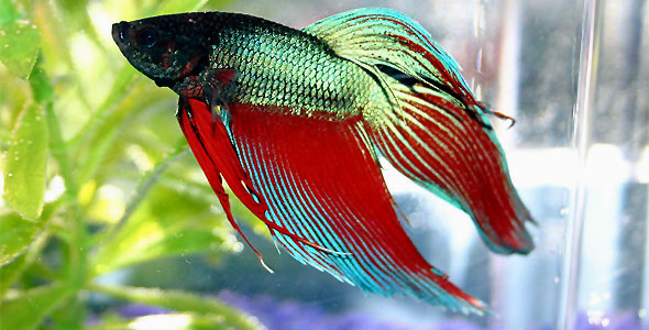 Betta \u2013 Fish Breeds \u2013 Information and pictures of saltwater and