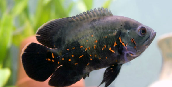 Oscars \u2013 Fish Breeds \u2013 Information and pictures of saltwater and