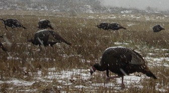 Wisconsin Wild Turkey