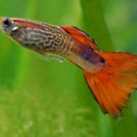 male and female guppies photos - Pictures of Male Guppies