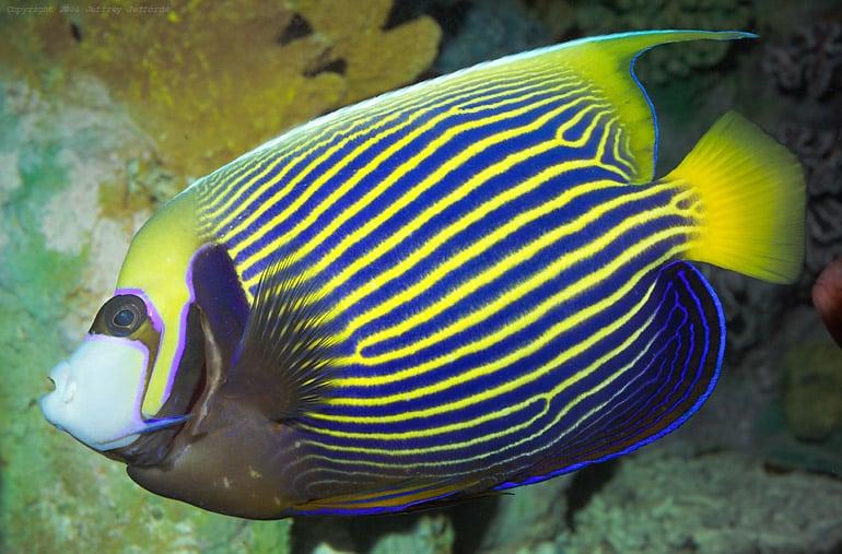 Saltwater Angelfish Care Guide - Fishkeeping Advice