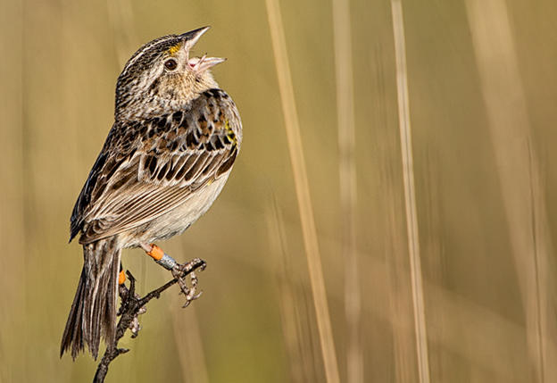 Corkscrew Florida Grasshopper Sparrow | Audubon Florida