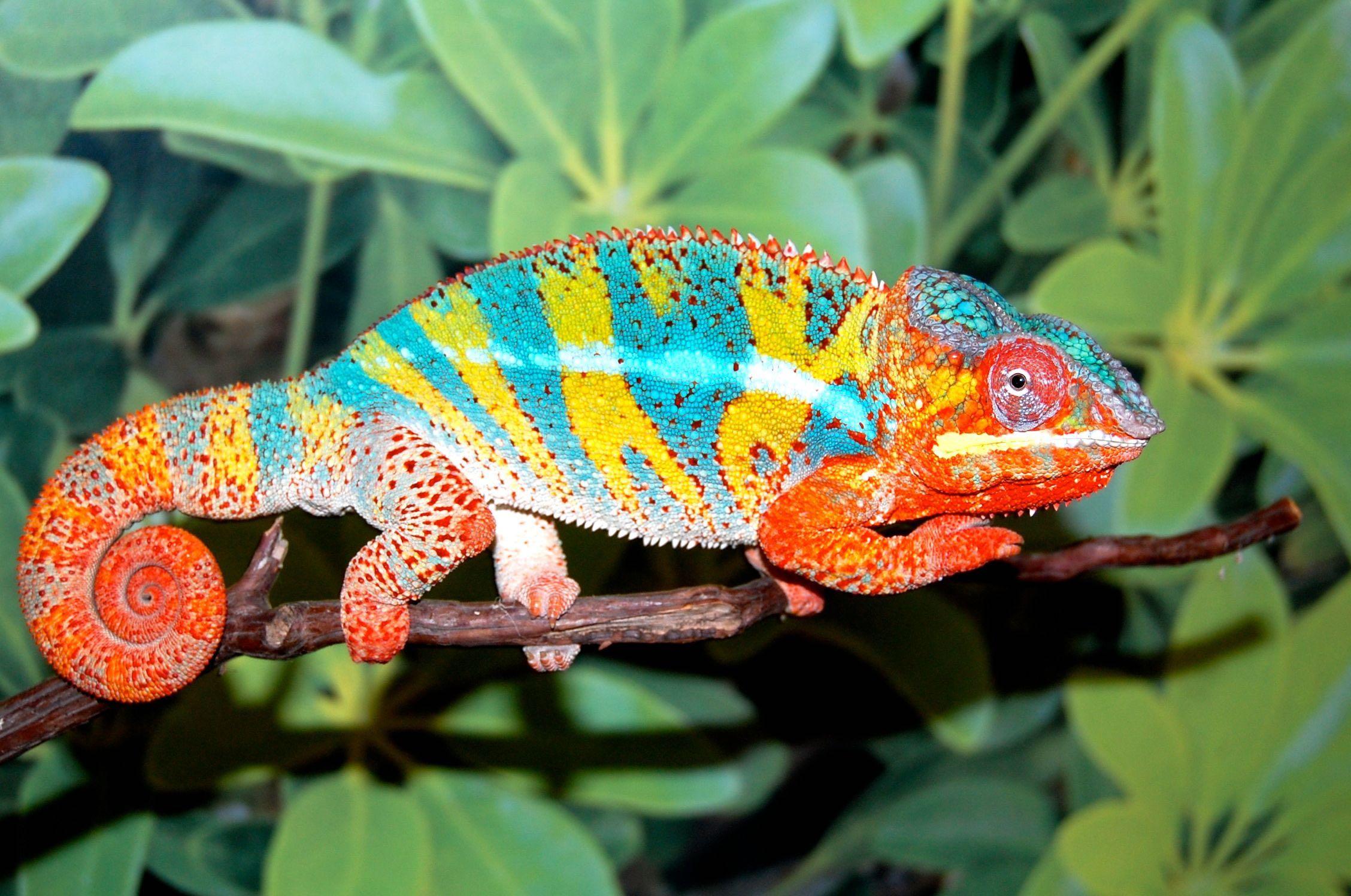 Ambilobe Panther Chameleon Grier Bloodline Fl Chams