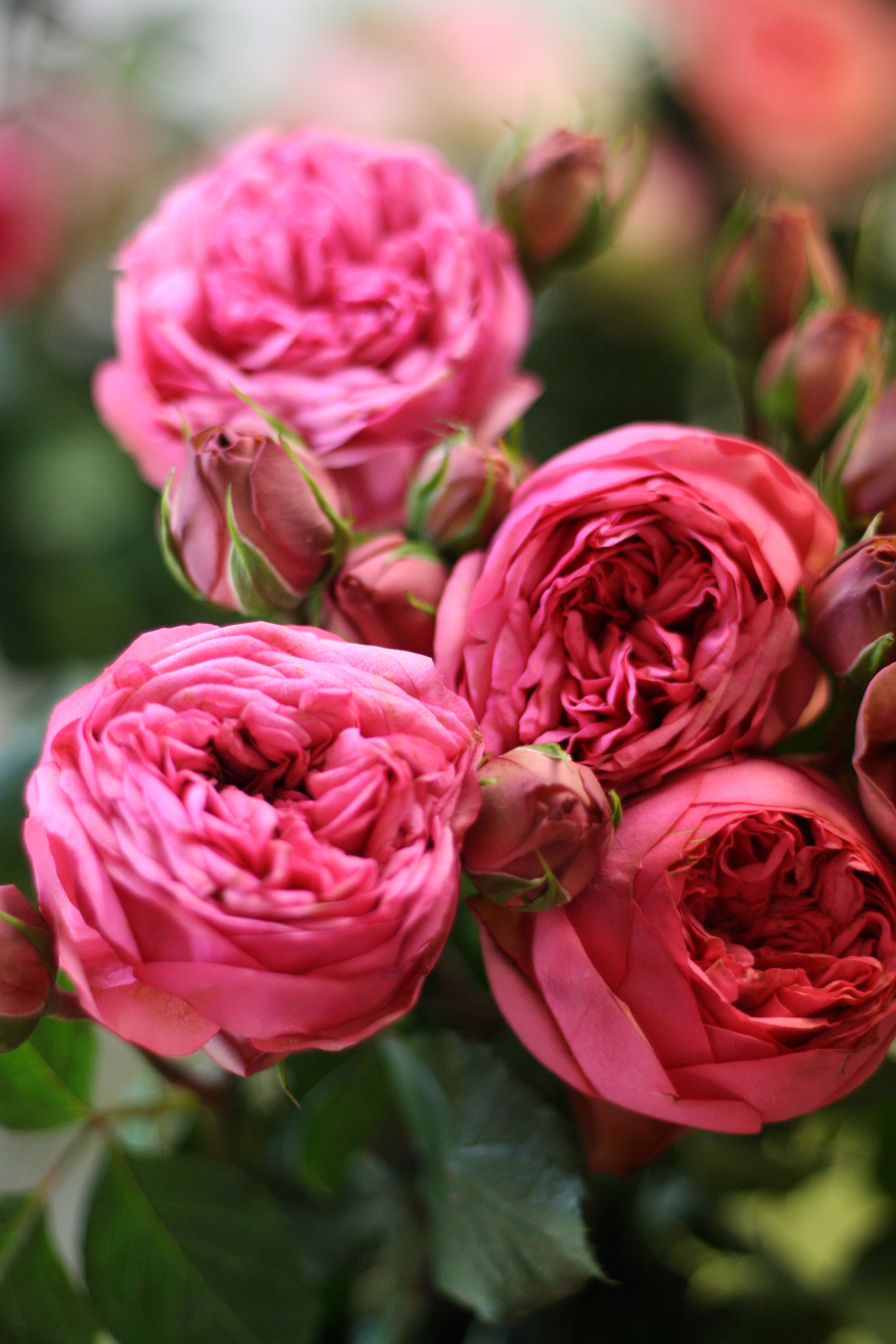 Fkeurs Pink Garden Rose Varieties By Florabundance Flirty