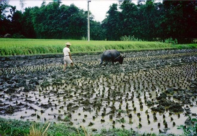 1960 年代台中稻田