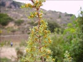 Juniperus oxycedrus6