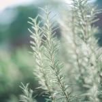 Rosemary Plant 101: Main Varieties and Growing Tips