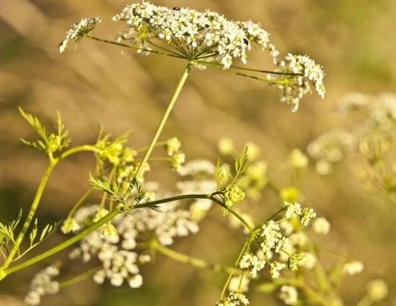 Yarrow Plant 101: Main Varieties and How to Grow Them