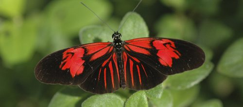Roter Schmetterling Id Guide: Red Butterflies – Exhibits
