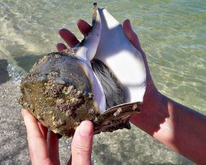 Live conch along the beach on Cayo Costa State Park