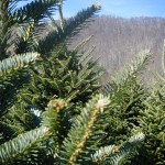 Organic Farming Offers Greener Christmas Trees