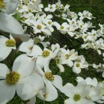 Dogwood Trees in Full Bloom