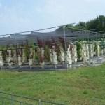 Organic, Hydroponic Greens