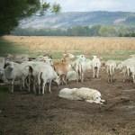 How Arkansas Livestock Became Ambassadors
