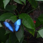 March Morpho Mania in St. Louis