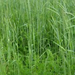 Organic Corn and Sorghum get Boost from Cover Crops