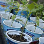 Gardening and Waking Up With Stonyfield