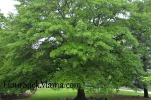 TreeOldGrowth