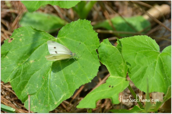 cabbage white butterfly atop summer squash plant