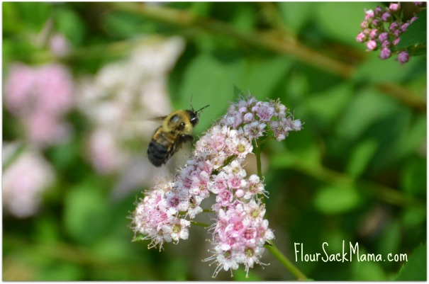 carpenter bee atop ornamental flowering bush