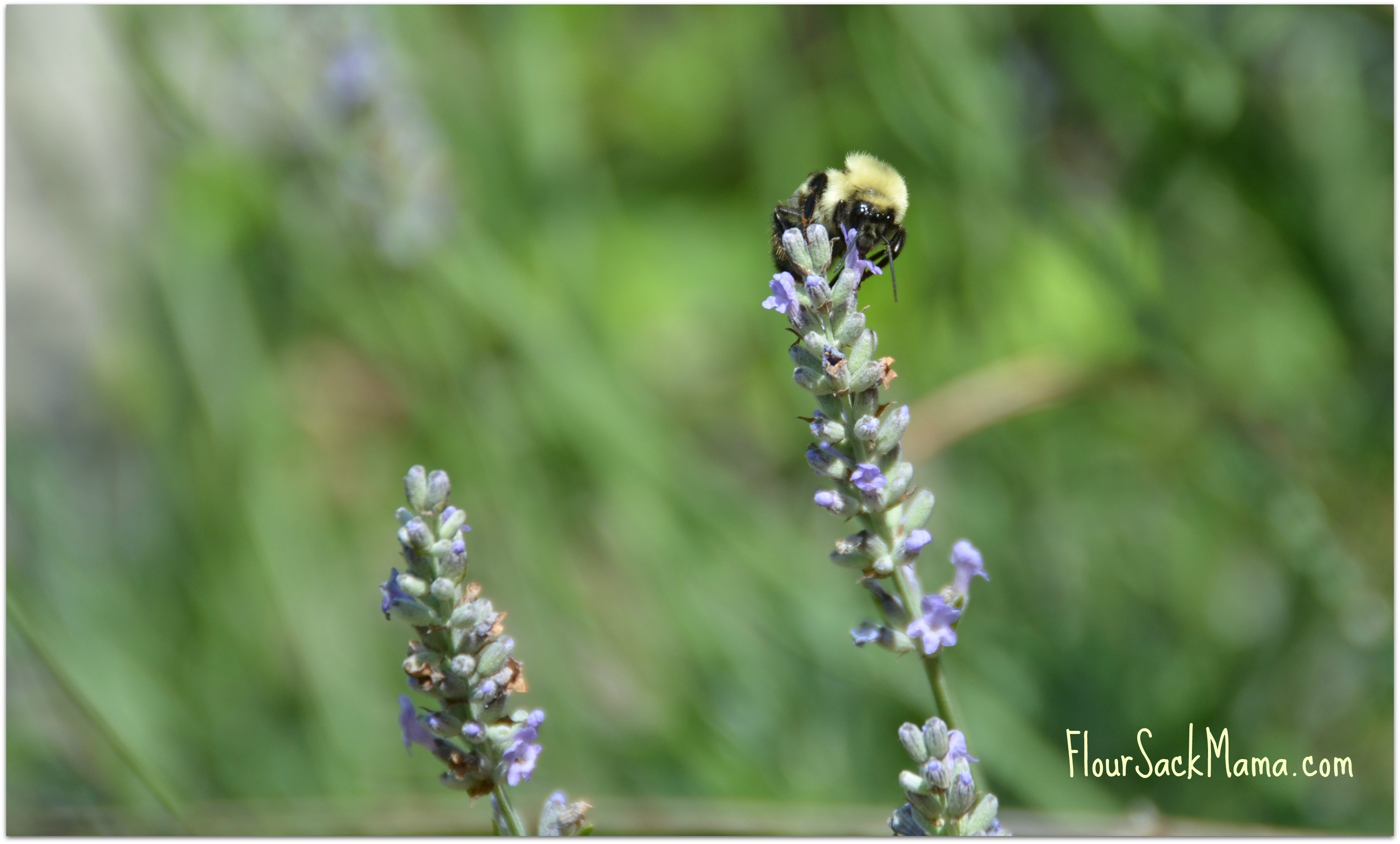 Bee on Lavender Organic Garden Flour Sack Mama