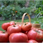 Saturdays in the Garden:  Picking & Preserving Vegetables