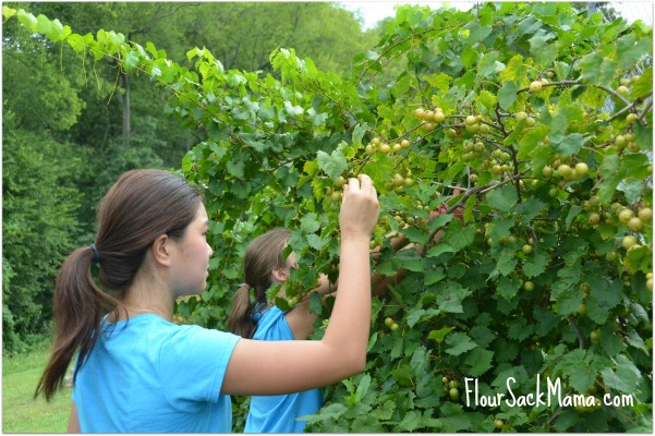 Volunteers Pick Grapes for Beardsley Farm