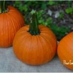Saturdays in the Garden: Pumpkin Harvest