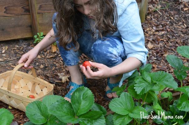 Girl picks strawberry