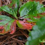 Managing Leaf Scorch Organically in the Strawberry Patch – Saturdays in the Garden