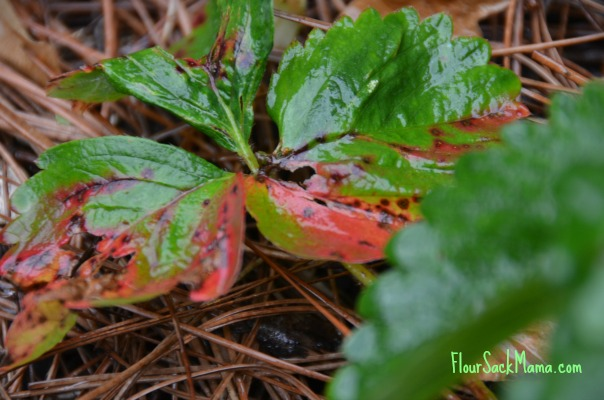 Leaf Scorch on Strawberry Plant